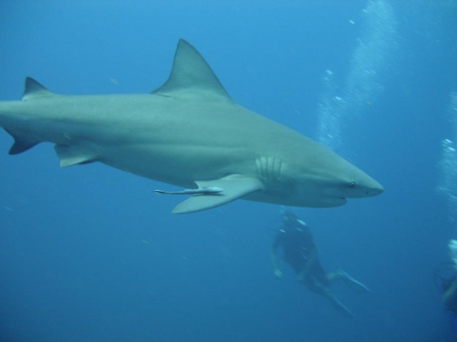 Shark Juvenile Juvenile Bull Shark